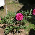 Photos: 芍薬カンサスが咲いた