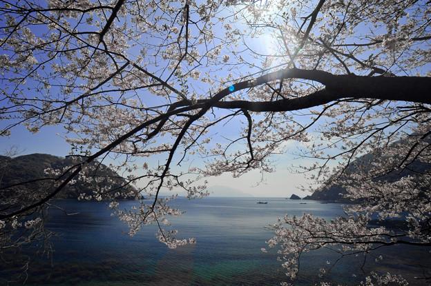 写真: 『常神半島・常神の海桜』