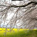 『藤原宮醍醐池の桜』