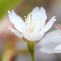 写真: 姫りんご