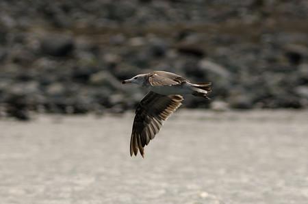 ウミネコの飛翔2