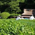 Photos: 茶摘み