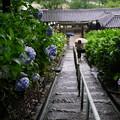 吉備津神社紫陽花