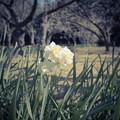 写真: 水仙