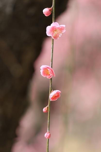 写真: 後楽園紅梅
