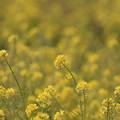 写真: 吉備路菜の花