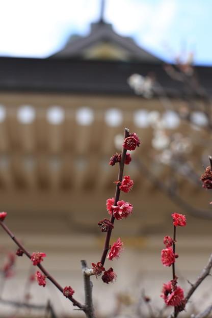 写真: 岡山神社梅