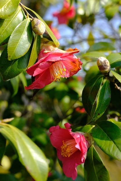 写真: 椿咲く