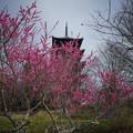 Photos: 塔と梅