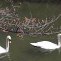 写真: 倉敷の桜