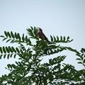 樹上で唄うホオジロ