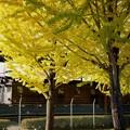 Photos: 色づく銀杏並木に佇むEF57 7