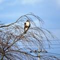 冬の枯れ枝にノスリ