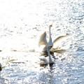 まばゆい川面で羽ばたく