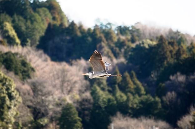 Photos: 里山を飛ぶアオサギ