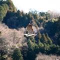 里山を飛ぶアオサギ