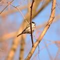 今年の鳥撮り納めはシジュウカラ