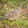 Photos: 今年初の鳥撮りは自宅庭のキジバトさん♪