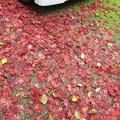 写真: 紅葉散る