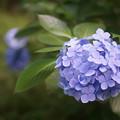 有栖川宮記念公園の紫陽花