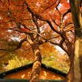 Photos: rs-161130_08_日本庭園の紅葉・SH(等々力渓谷) (7)
