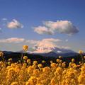 rs-170213_72_菜の花と富士山・SL(吾妻山) (3)
