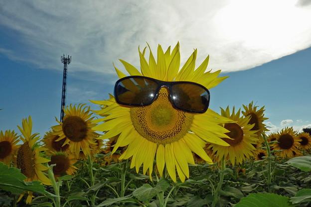 サングラス向日葵