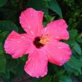 写真: ピンクのハイビスカス