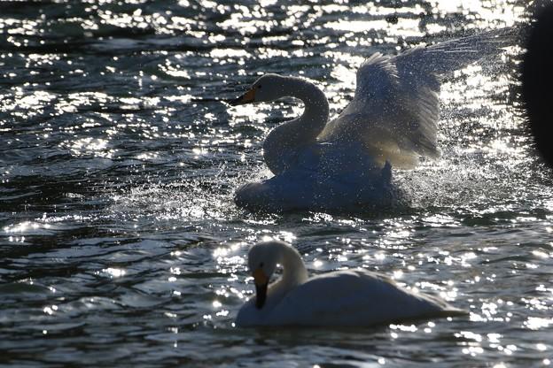 写真: 羽ばたく白鳥
