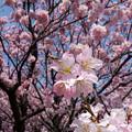 Cherry Blossom@工場