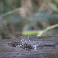 170304-4ヒヨドリの水浴び