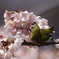 写真: 170318-9オオカンザクラの蜜を吸うメジロ
