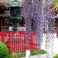DSC_0078神社の藤