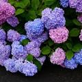カラフル紫陽花