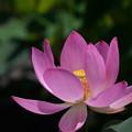 写真: 蓮の花が・・・