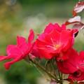 7月の薔薇