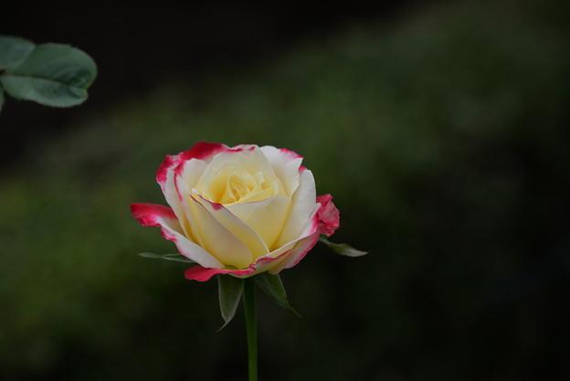 写真: 薔薇一輪