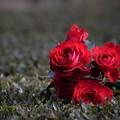 写真: 紅い薔薇・・・