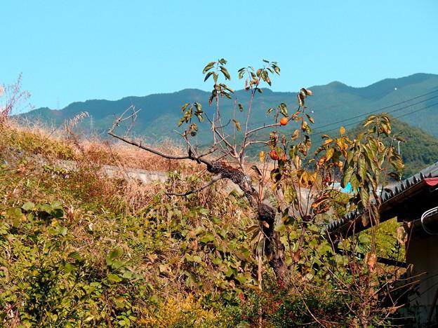 一本の、柿木の景色。
