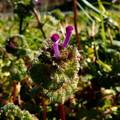 写真: 春の七草・ホトケノザ