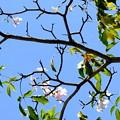 写真: ペナンさくらが咲きだした。