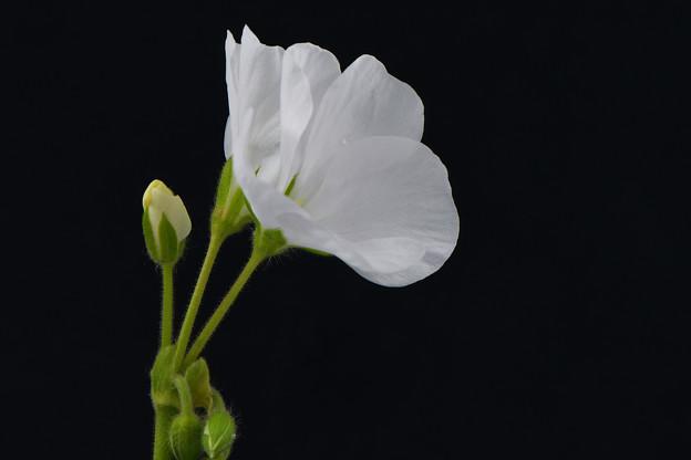 ゼラニウム(白花)_16709stka