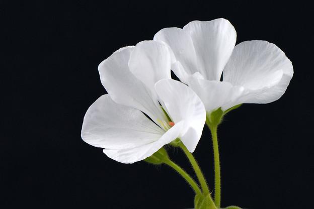 ゼラニウム(白花)_16709stkb