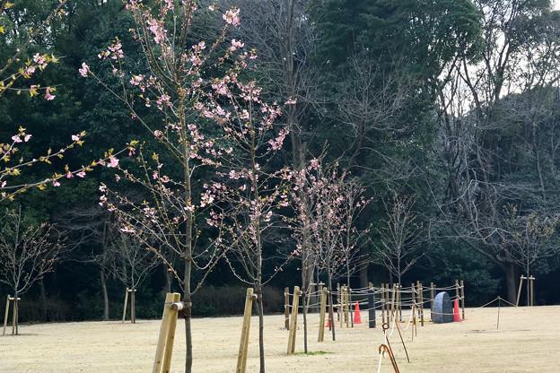 サクラ(カワヅザクラ・河津桜)_17223b