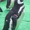 須磨水族園のペンギン