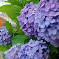 紫陽花と阪堺電車