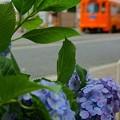 紫陽花と…