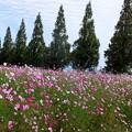 Photos: 1-21朝倉路のコスモス畑