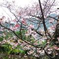 Photos: 元日桜