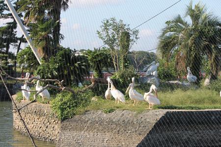 ペリカン島